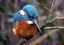 kingfisher8867